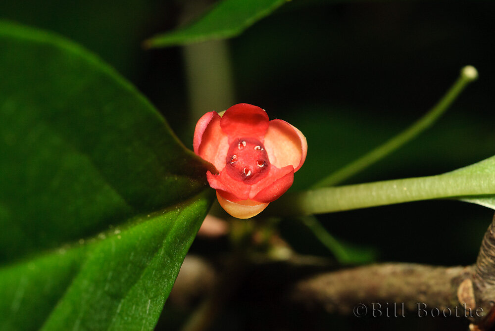 Bay Starvine Flower