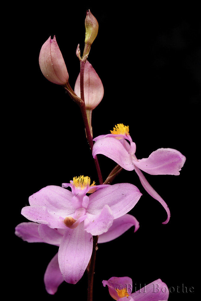 Many-flowered Grasspink Orchid