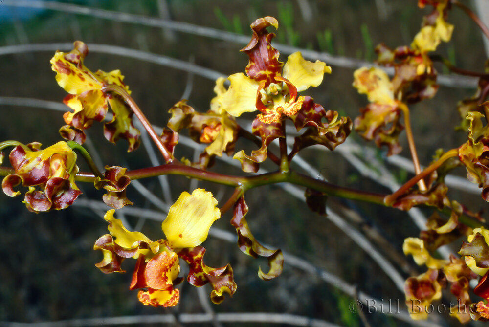 Cowhorn Orchid