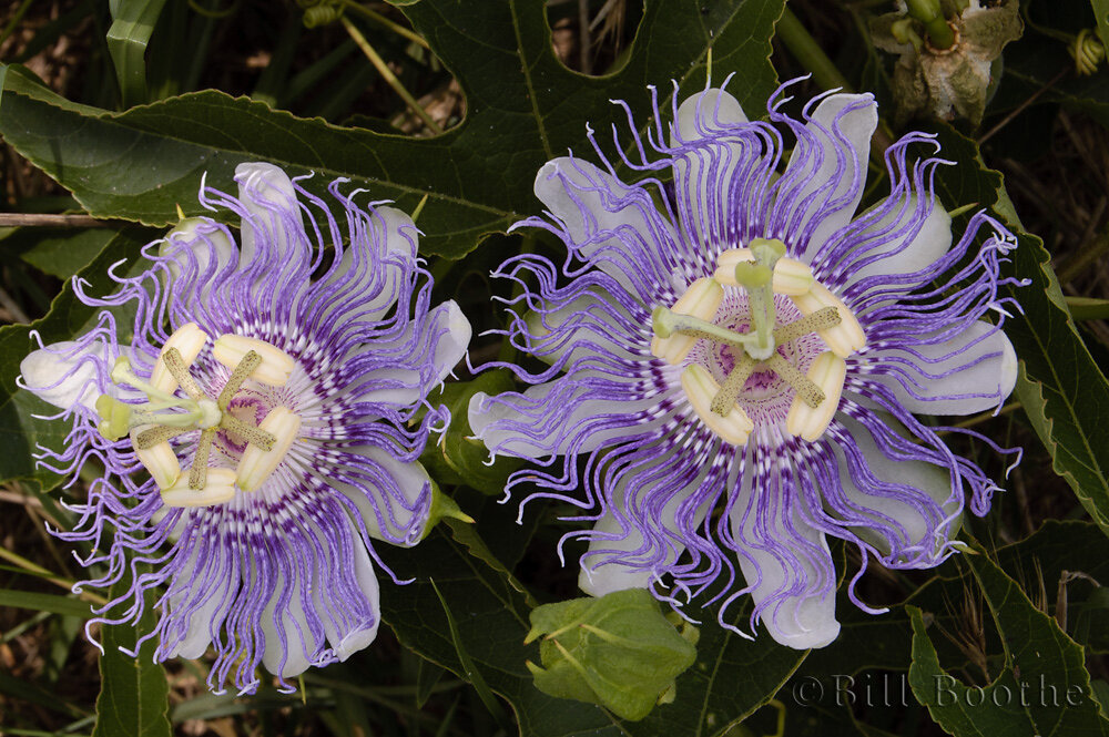 Purple Passionflowers