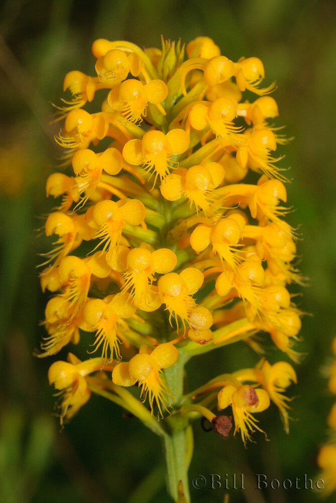 Crested Yellow Orchid