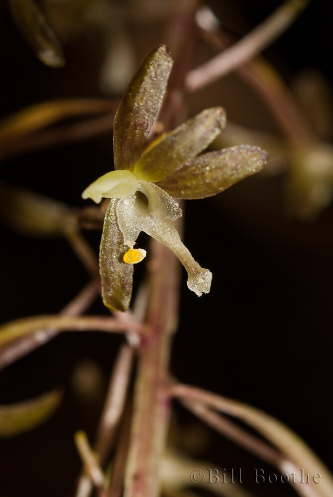Crippled Cranefly Orchid