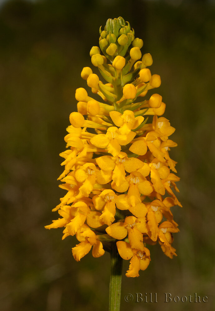 Yellow Fringeless Orchid