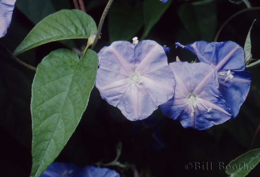 Skyblue Clustervine