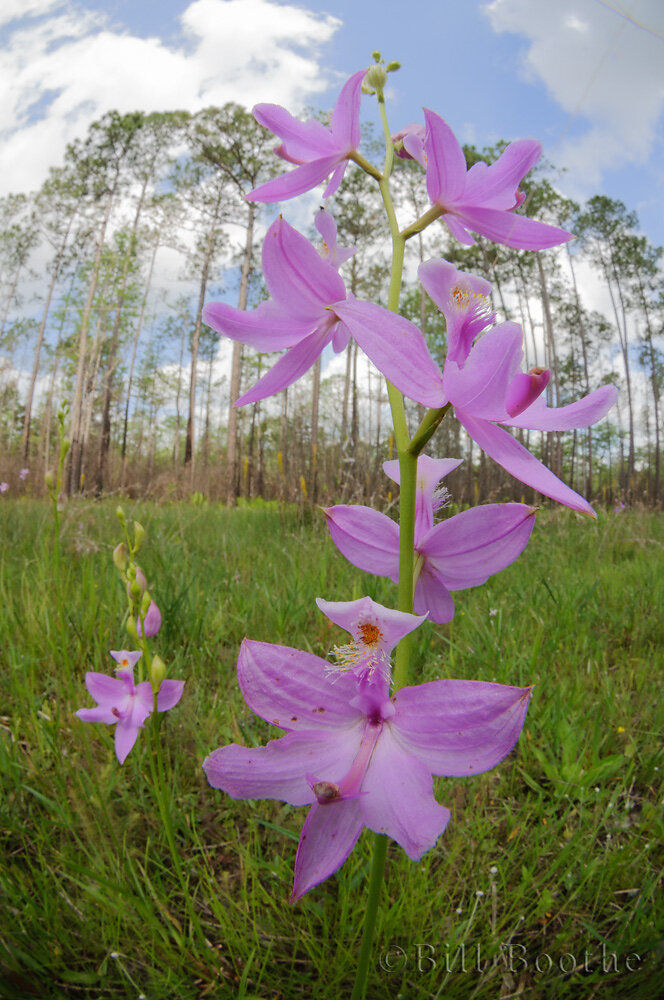 Tuberouse Grasspink Orchid