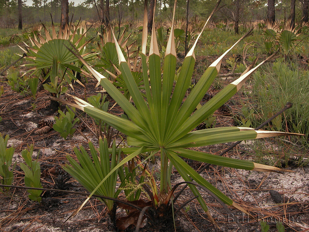 Saw Palmetto burned by fire