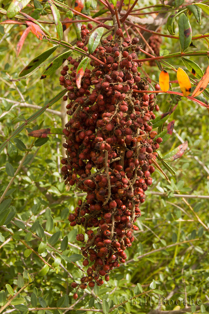 Winged Sumac Berries