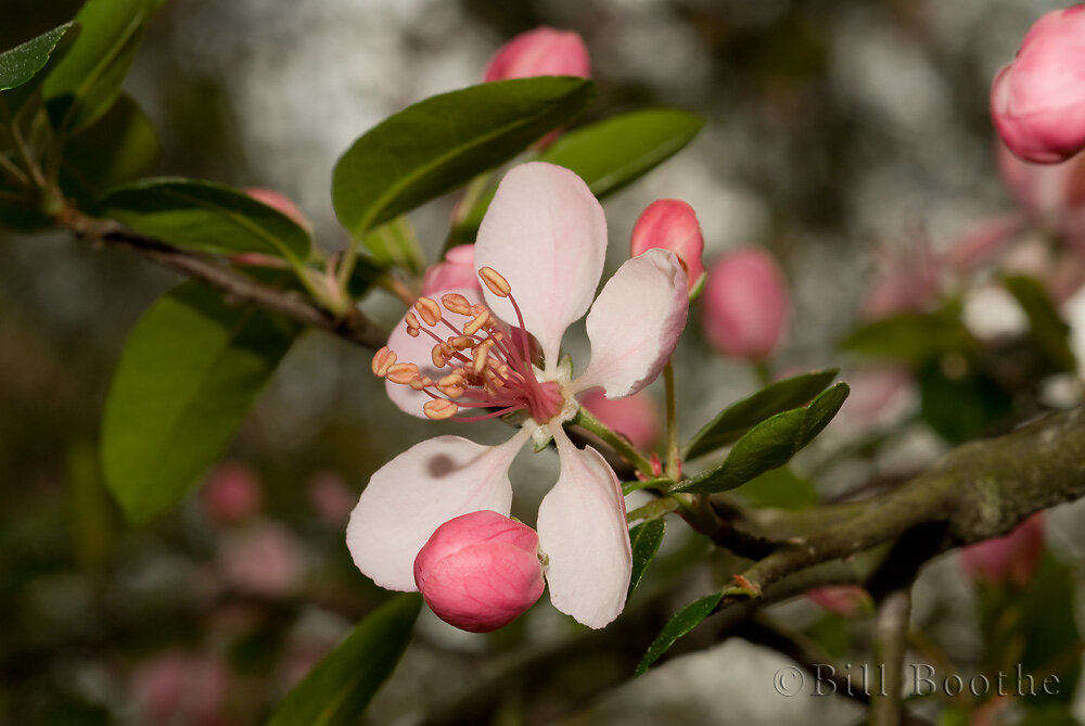 Southern Crabapple Flower