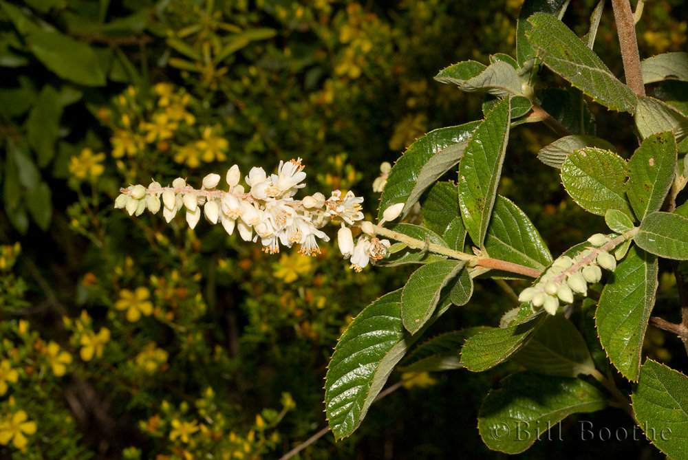 Sweet Pepperbush