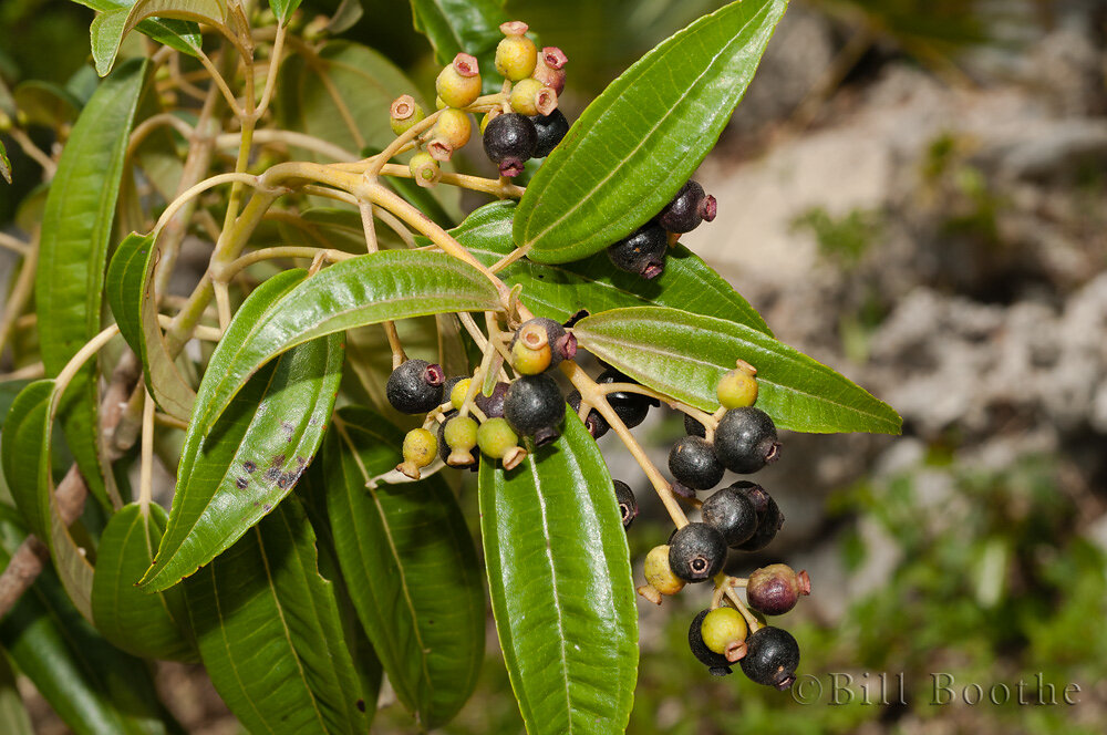 Florida Clover Ash Fruits