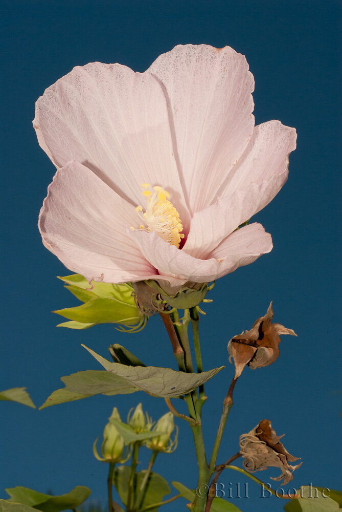 Swamp Rosemallow