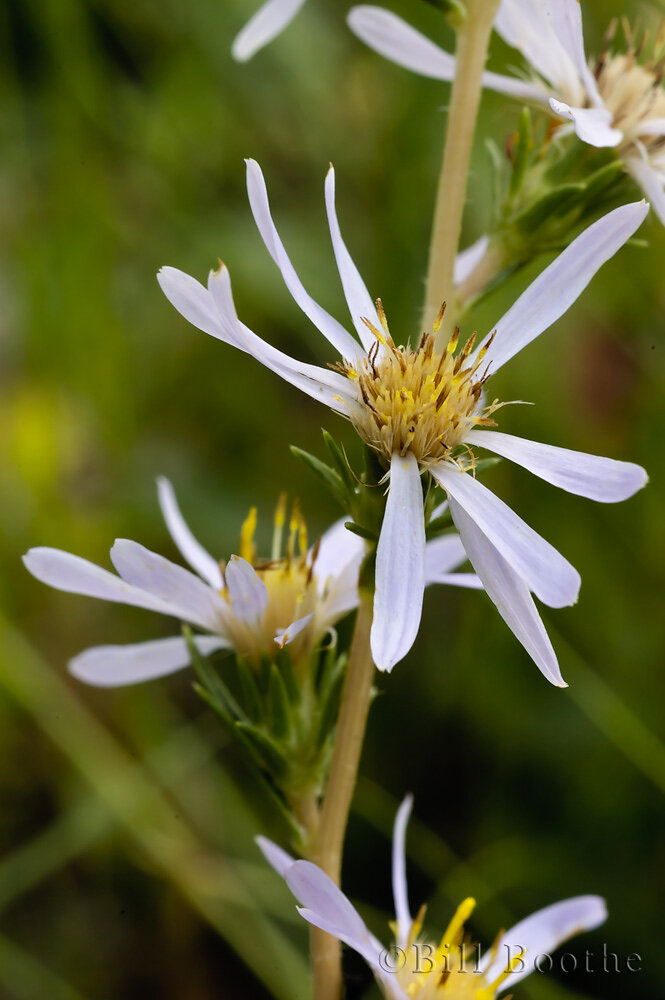 Apalachicola Aster