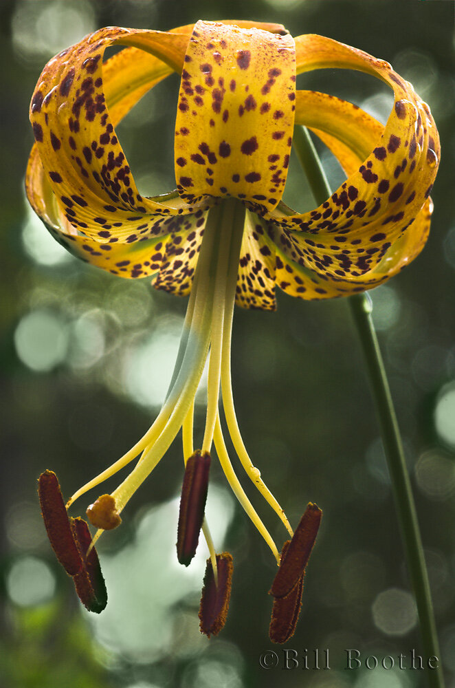 Panhandle Lily