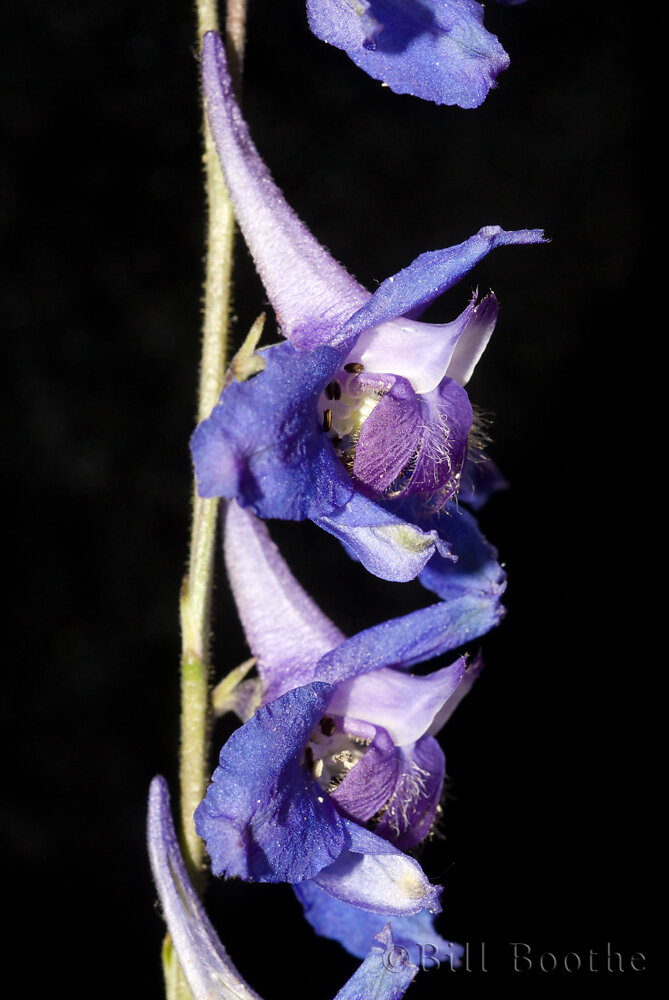 Carolina Larkspur