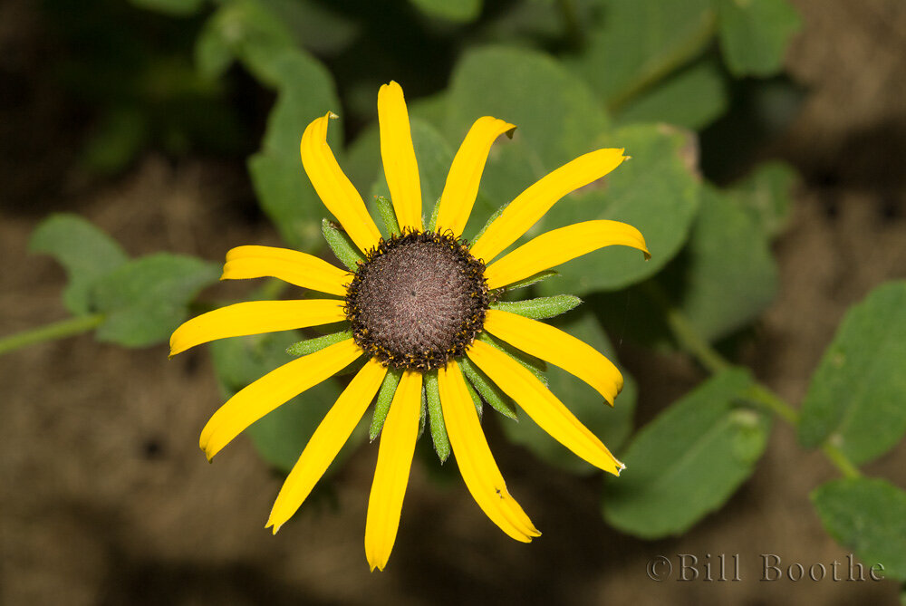 Softhair Coneflower