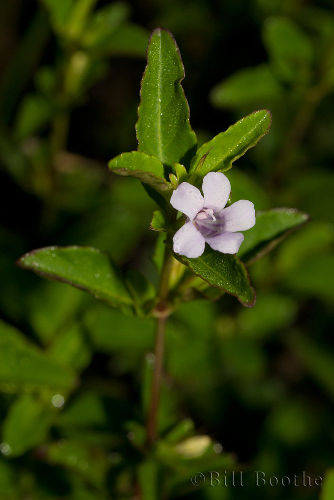 Swamp Twinflower