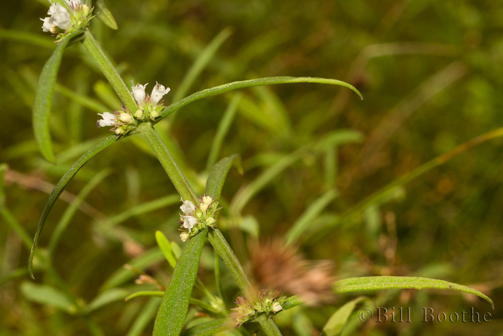 American Waterhorehound