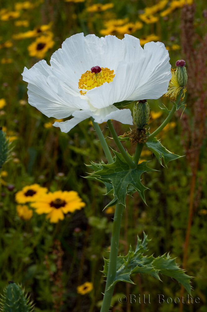 Bluestem Pricklypoppy