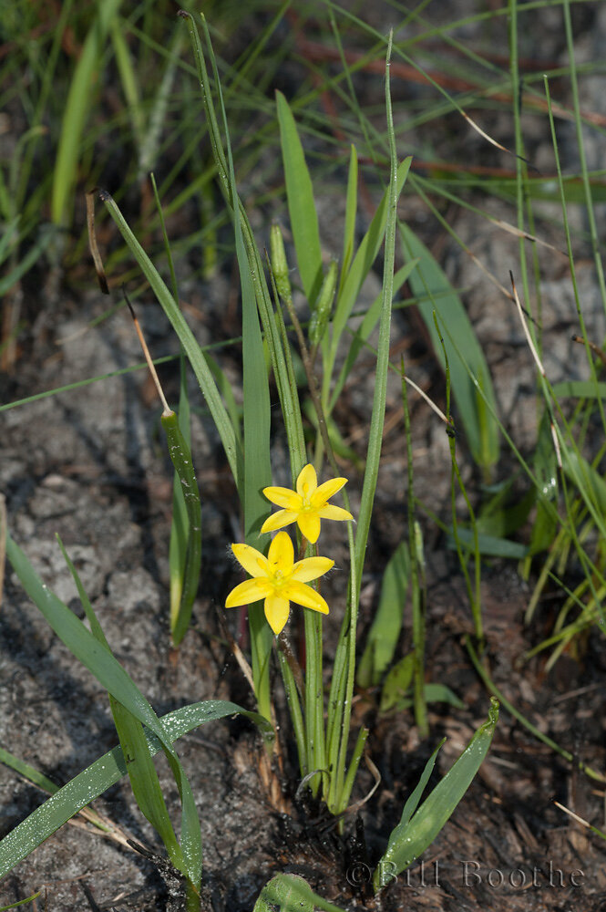 Bristleseed Yellow Stargrass