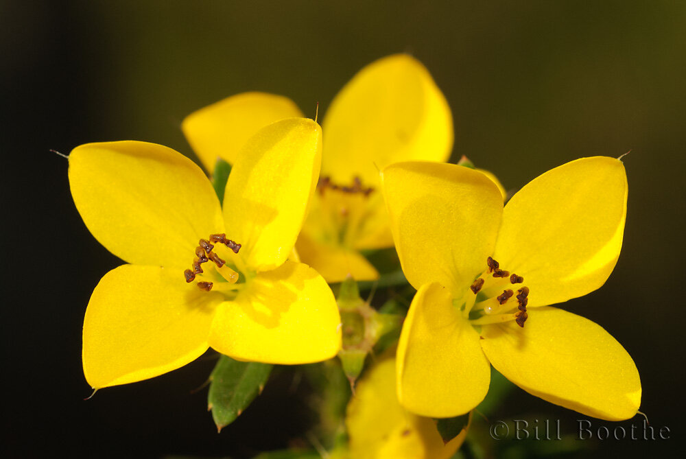 Yellow Meadowbeauty