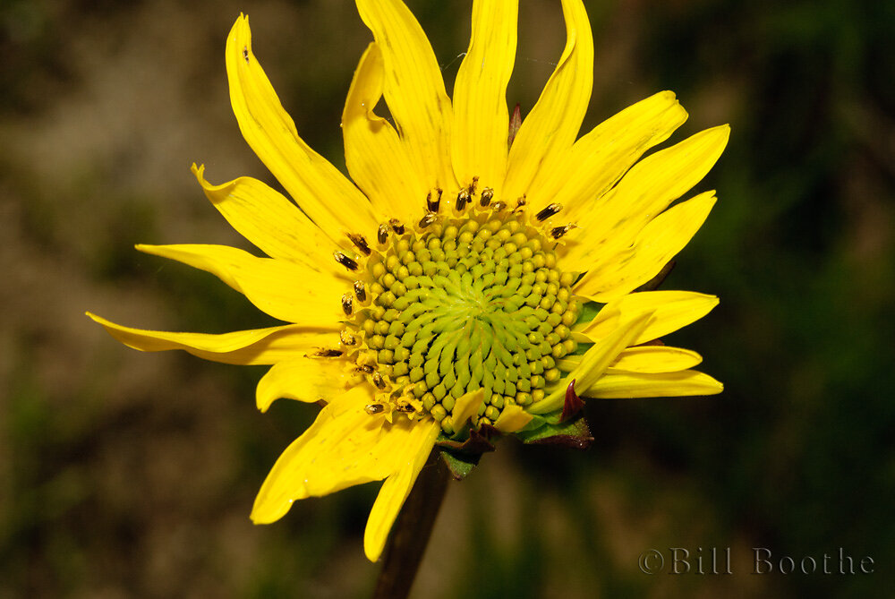 Lakeside Sunflower