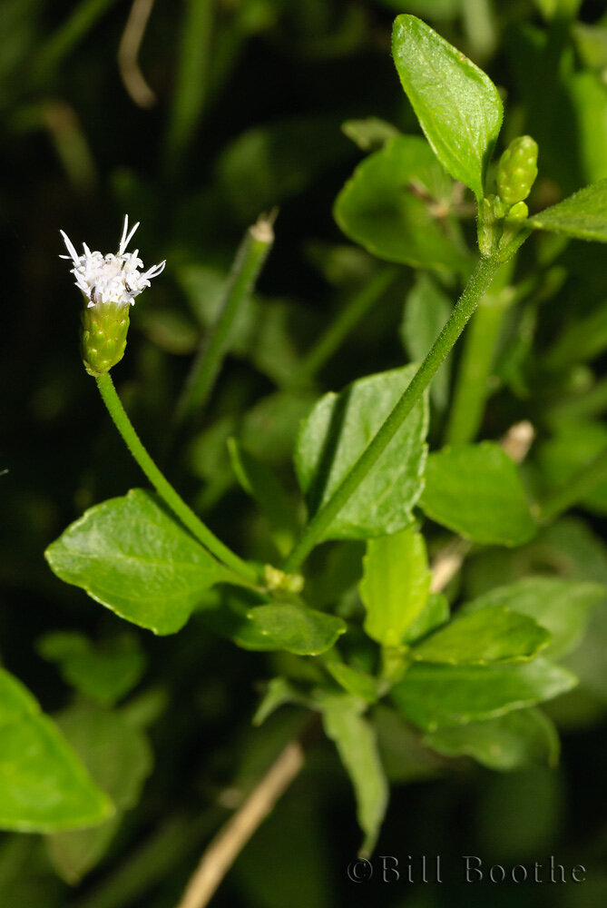 Cape Sable Thoroughwort