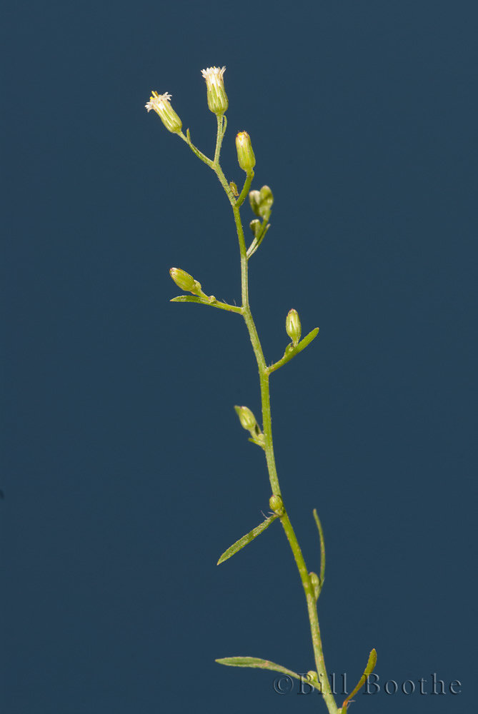 Dwarf Canadian Horseweed