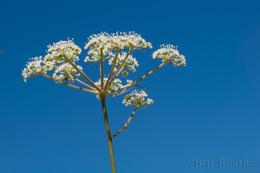Coastalplain Angelica