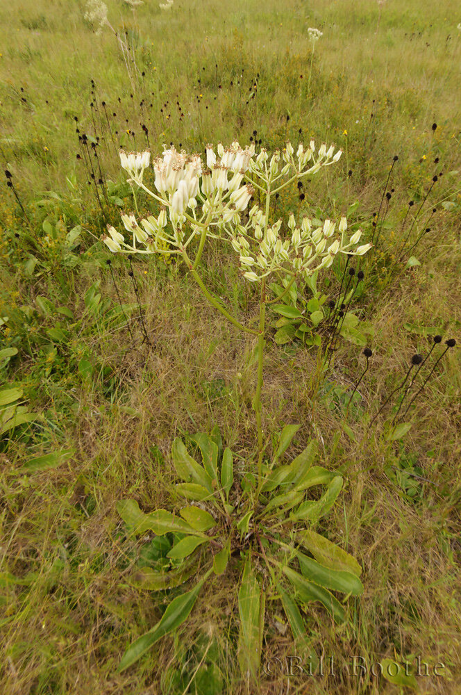 White Indian Plantain