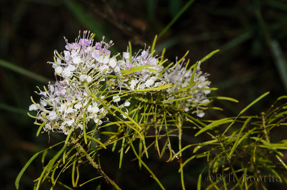 Clasping Warea
