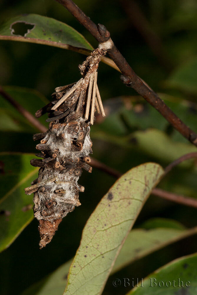 Bagworm Moth Case