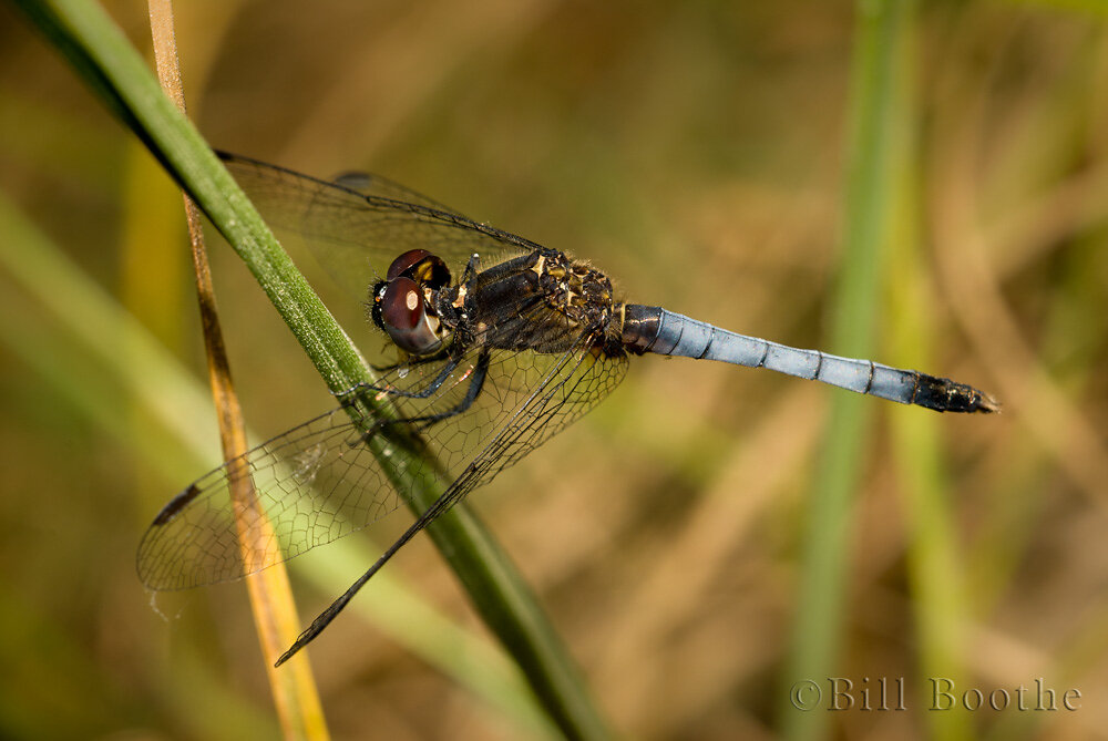 Little Blue Dragonlet