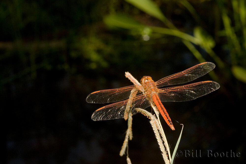 Male Golden-winged Skimmer