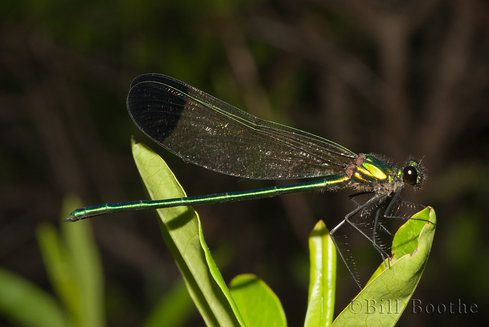 Male Sparkling Jewelwing