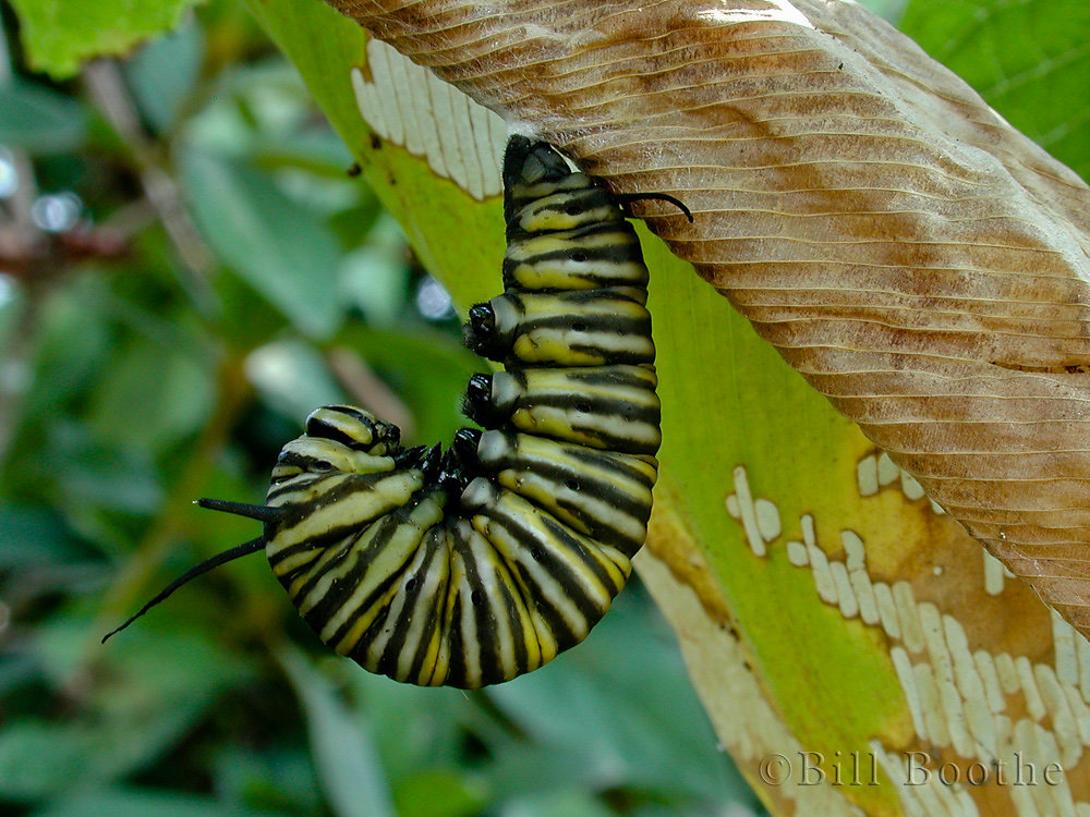 Monarch Caterpillar in J Position
