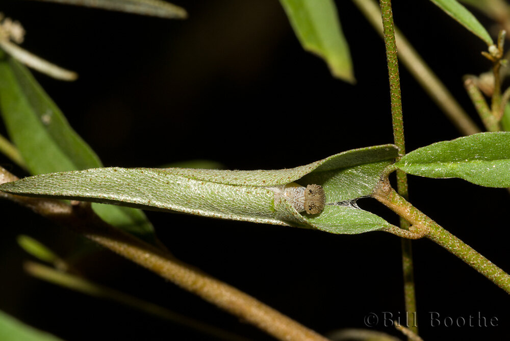 Goatweed Leafwing Caterpillar