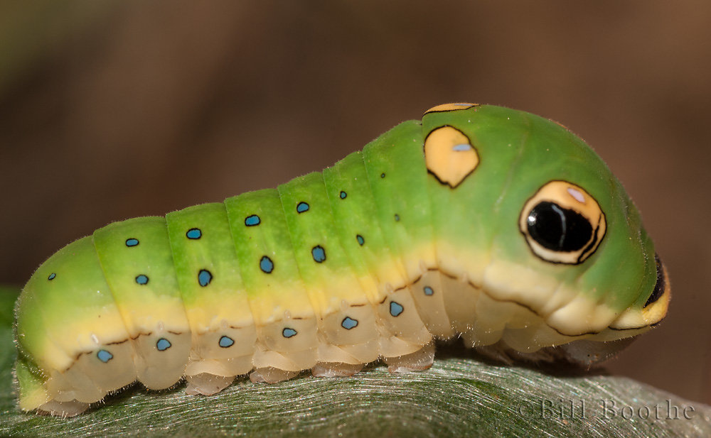Spicebush Swallowtial Caterpillar