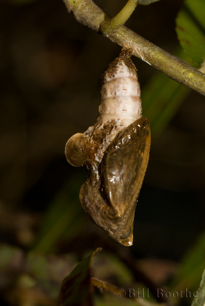 Red-spotted Purple Chrysalis