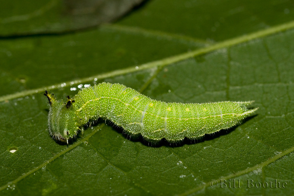 Hackberry Emperor Caterpillar