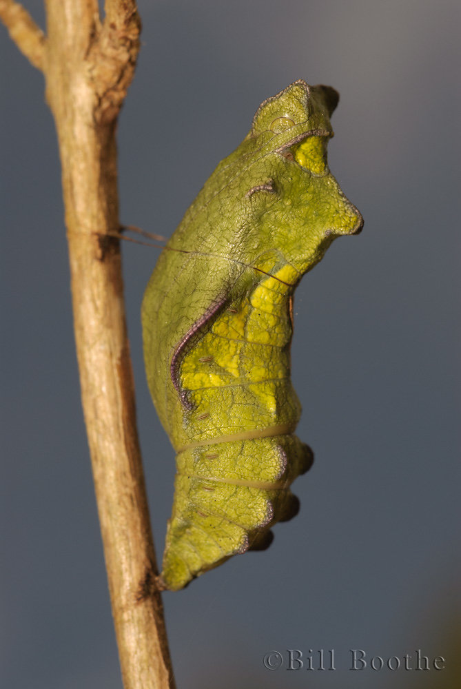 Pipevine Swallowtail Chrysalis