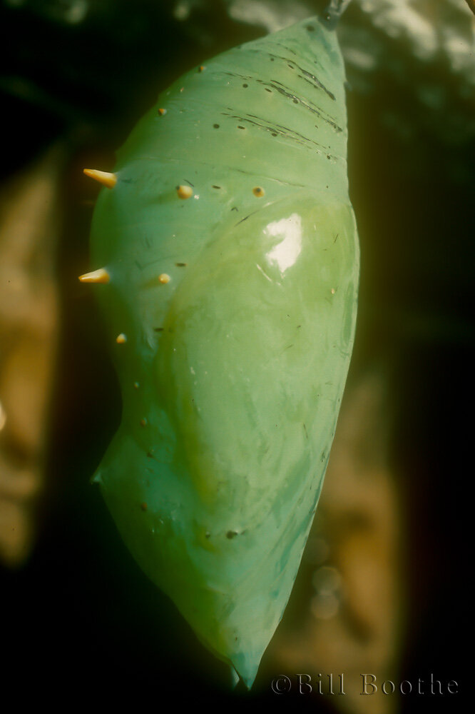 Malachite Chrysalis