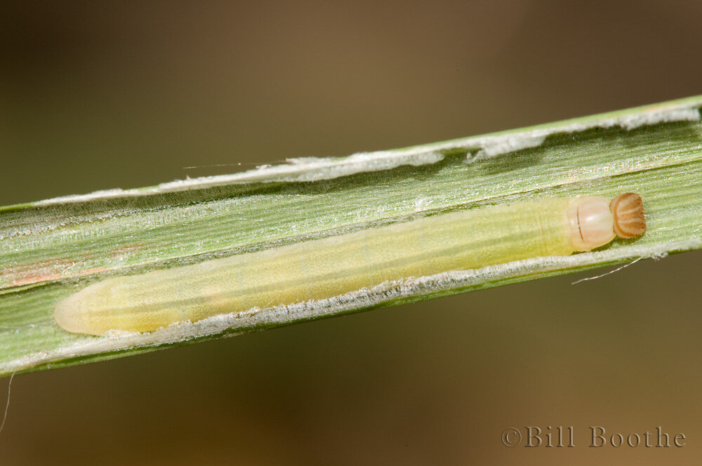 Swarthy Skipper Caterpillar