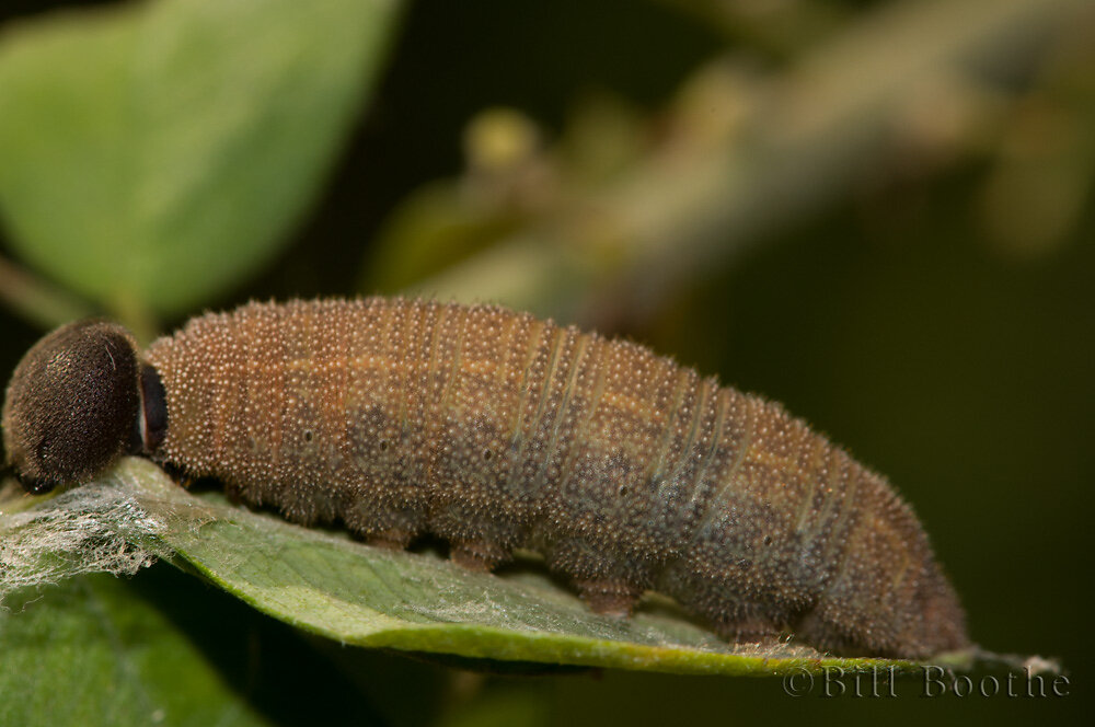 Southern Cloudywing Caterpillar