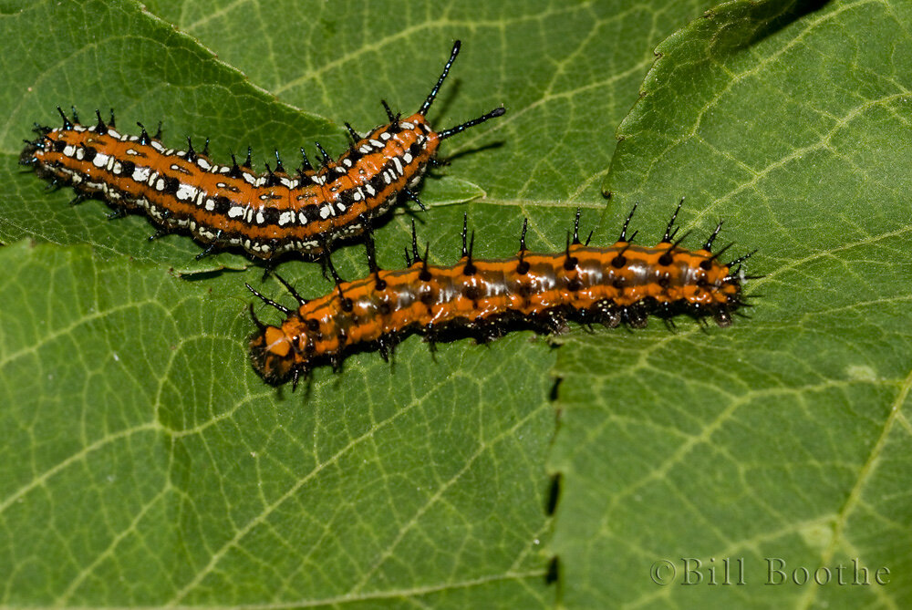 Gulf Fritillary and Variegated Fritillary Caterpillars