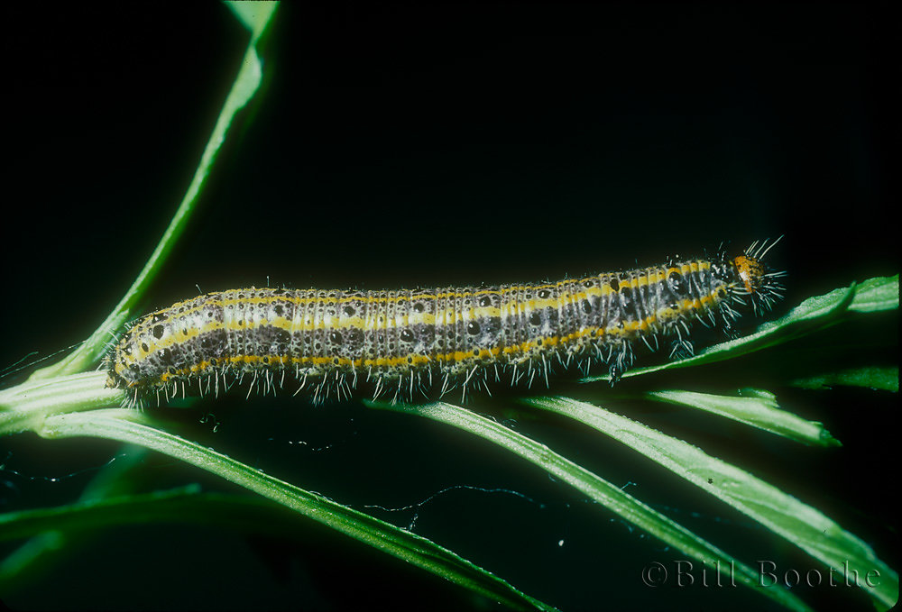 Great Southern White Caterpillar