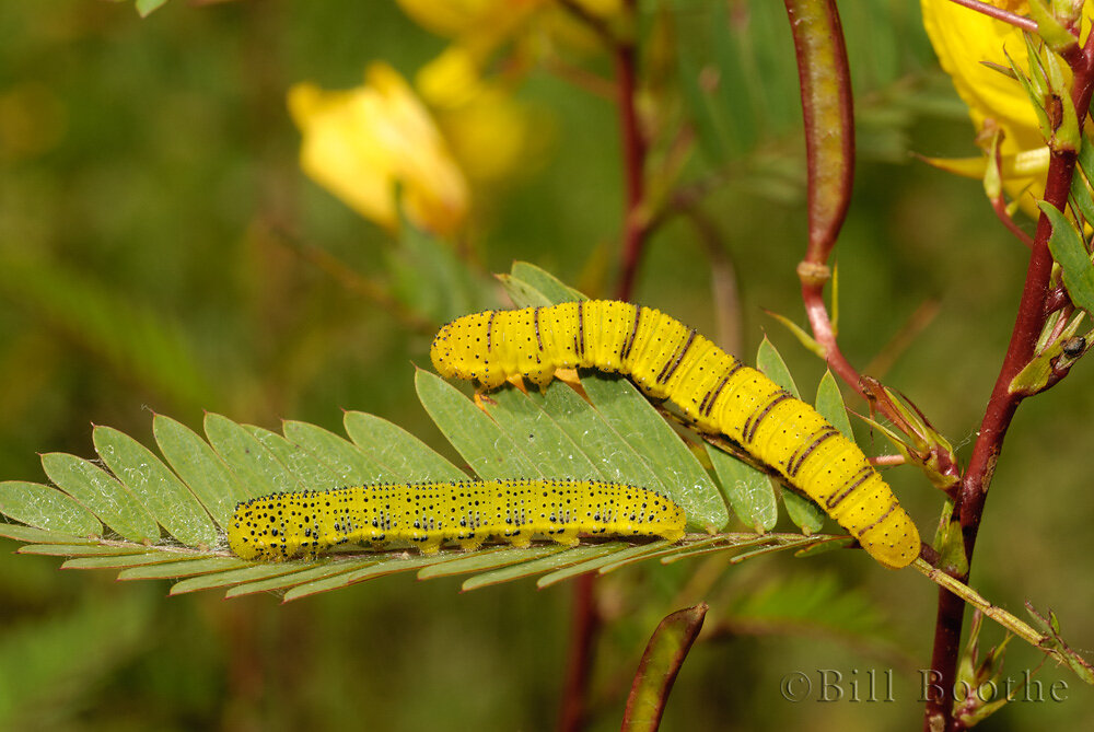 Cloudless Sulphur Caterpillars