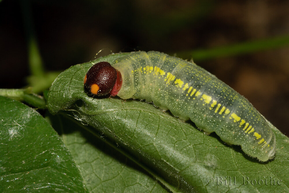 Golden banded-skipper Caterpillar