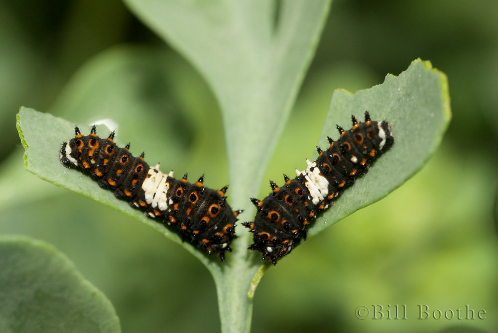 Black Swallowtail Caterpillars