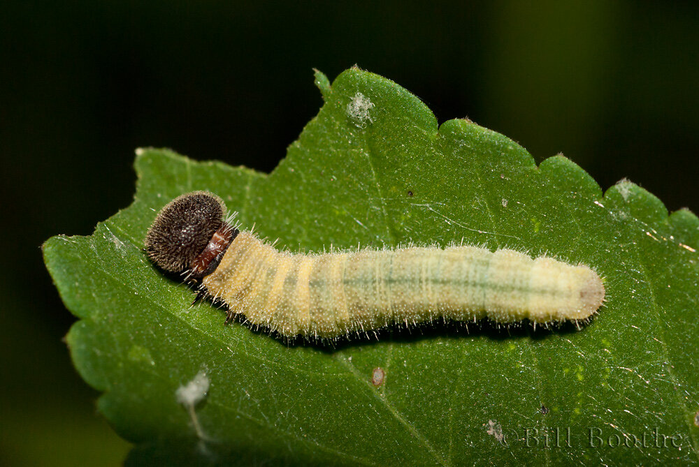 Common or Tropical Checkered skipper Caterpillar