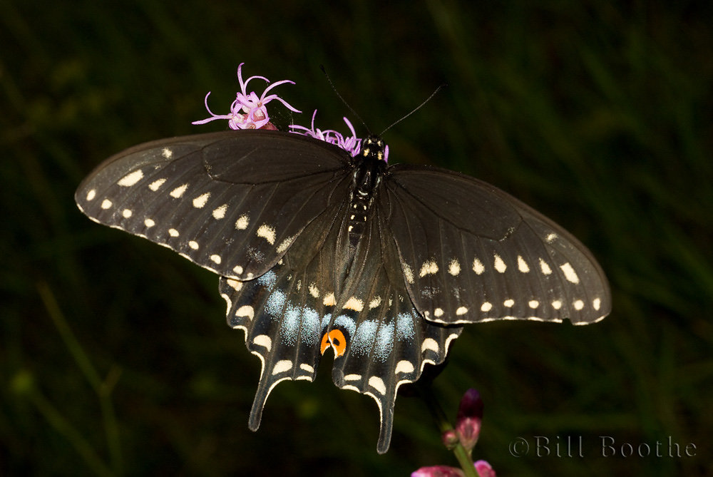 Female Black Swallowtail